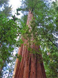 redwoods_12